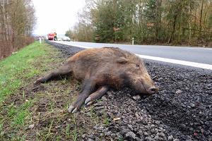 Zwar machen Sie sich nicht der Fahrerflucht bei einem Wildunfall schuldig, dafür jedoch der Wilderei, wenn Sie das tote Tier mitnehmen.